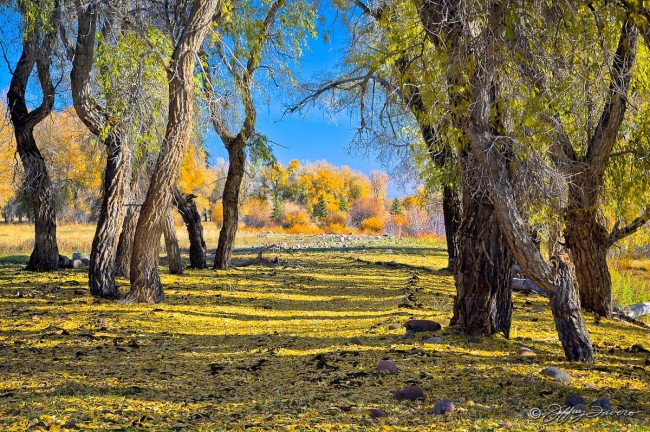 Fall Colors Amidst Cottonwoods