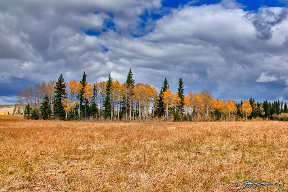 Fall Pines And Aspens