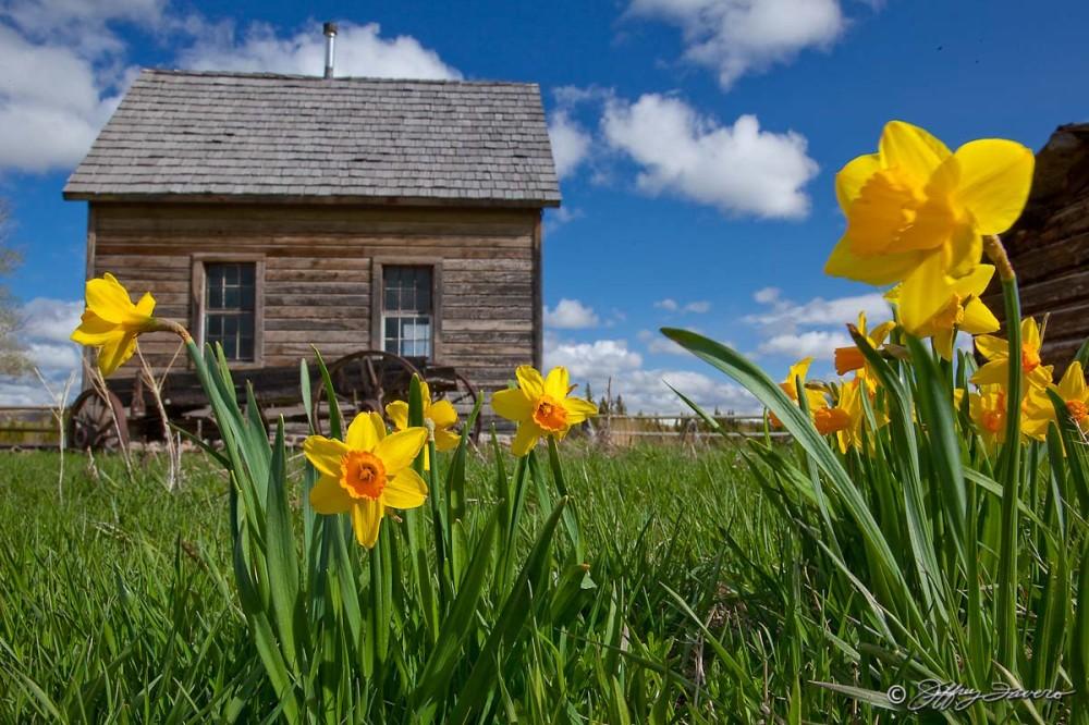 Spring Flowers And Pioneer Schoohouse