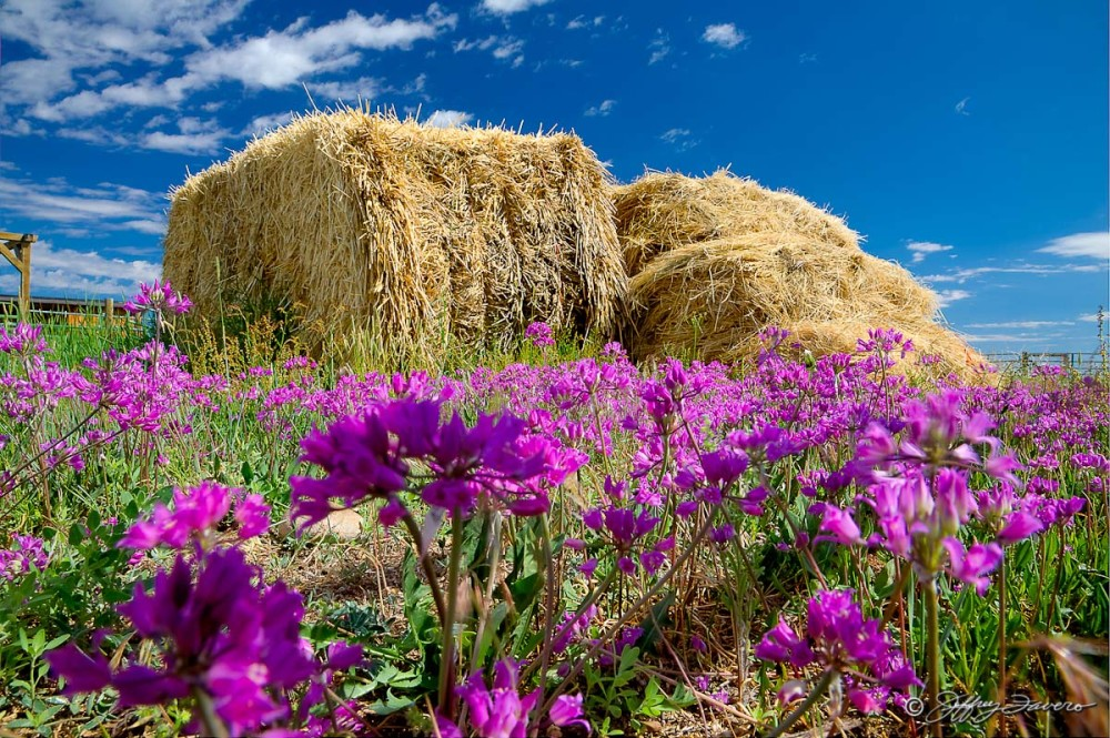 Hay Bales And Spring Flowers