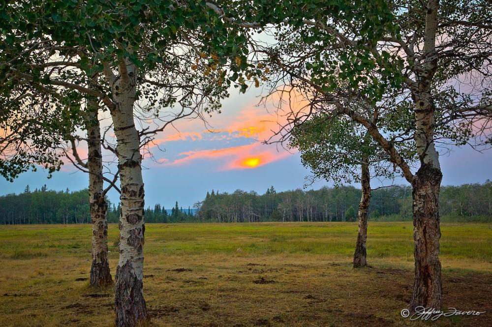 Sunset Through Quakies
