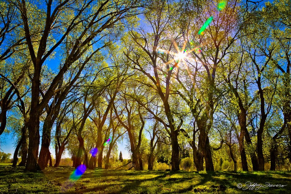 Sun Thru Spring Cottonwoods