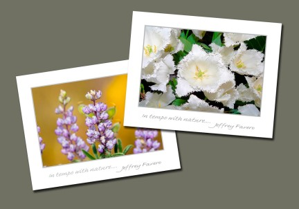 Fringed Tulip And Lupine