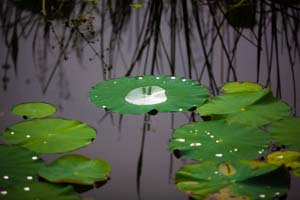 lily-pads-category-thumbnail